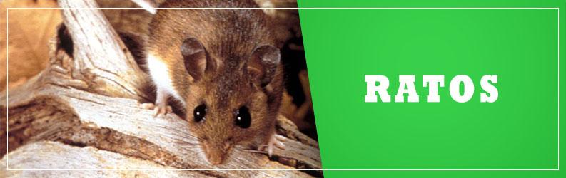 Ratos-ALPHA-CLEAN-Controle-de-Pragas-Dedetizadora-criciuma-içara