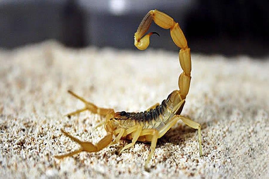 Atenção aos focos de Escorpião amarelo